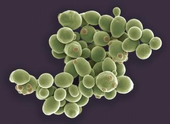 연구진이 현재까지 개발한 인공 효모의 이미지. 30%를 합성 게놈으로 대체해도 자연 효모와 기능적 차이를 보이지 않았다. - 사이언스 제공